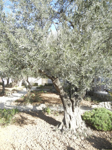 The Olive trees that stand in silence …