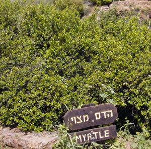 Middle Eastern Myrtle